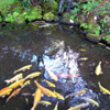 Summer Koi Ponds