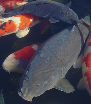 Popular black koi species koi fish essentials for Pond fish species