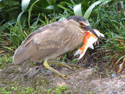 How to prevent heron theft koi fish essentials for Keeping koi carp